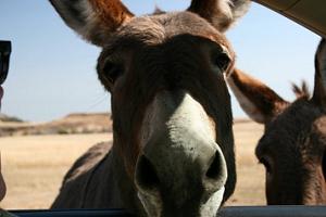 The Donkey Curse