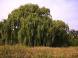 dance of the fire willow